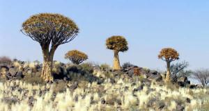 Kokerboom (Aloe dichotoma), Namibia. Author and Copyright Marco Ramerini
