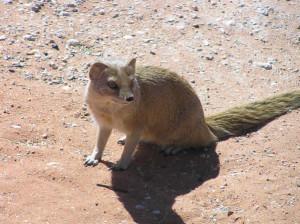 Mangusta Gialla, Kgalagadi Transfrontier Park, Sudafrica. Author and Copyright Marco Ramerini