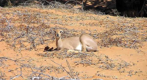 Steenbok, Kgalagadi Transfrontier Park, Sudafrica. Author and Copyright Marco Ramerini