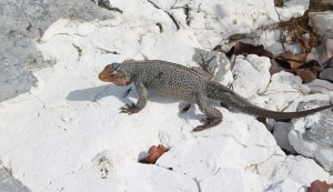 Iguana, Sandy Cay, Exumas, Bahamas. Author and Copyright Marco Ramerini