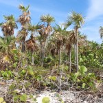La tipica vegetazione dell'isola principale, Sandy Cay, Exumas, Bahamas. Autore e Copyright Marco Ramerini