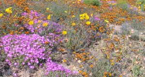 Namaqualand, Sudafrica. Autore e Copyright Marco Ramerini.