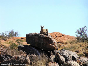 Klipspringer, Augrabies Falls National Park, Sudafrica. Author and Copyright Marco Ramerini