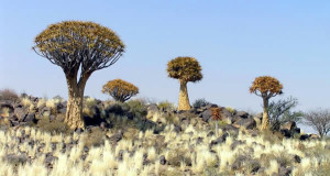 Kokerboom (Aloe dichotoma), Namibia. Author and Copyright Marco Ramerini