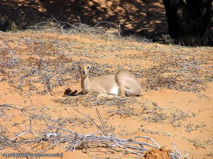 Steenbok, Kgalagadi Transfrontier Park, Sudafrica. Author and Copyright Marco Ramerini
