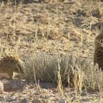 Suricati, Kgalagadi Transfrontier Park, Sudafrica. Author and Copyright Marco Ramerini
