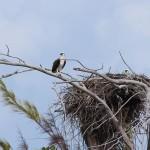 L'aquila e l'aquilotto, Sandy Cay, Exumas, Bahamas. Autore e Copyright Marco Ramerini