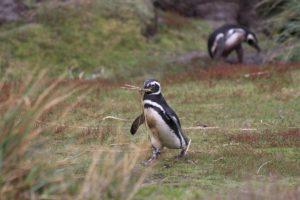 Pinguino, Gipsy Cove, Isole Falkland. Autore e Copyright Marco Ramerini