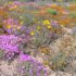 Namaqualand, Sudafrica. Autore e Copyright Marco Ramerini.