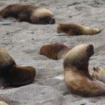 Leoni marini, Punta Norte, Penisola Valdés, Argentina. Autore e Copyright Marco Ramerini