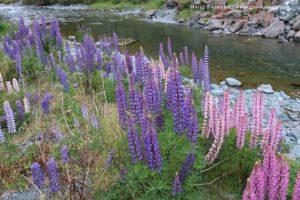 Lupini selvatici, Cascade Creek, Milford Road, Nuova Zelanda. Autore e Copyright Marco Ramerini