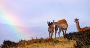 Guanachi, Parco Nazionale Torres del Paine, Cile. Autore e Copyright Marco Ramerini