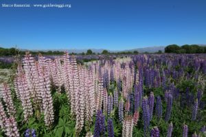 Lupini selvatici, Kurow Creek, Waitaki River Valley, Nuova Zelanda. Autore e Copyright Marco Ramerini