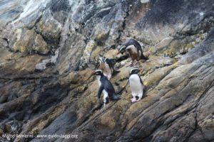 Pinguini, Doubtful Sound, Nuova Zelanda. Autore e Copyright Marco Ramerini.